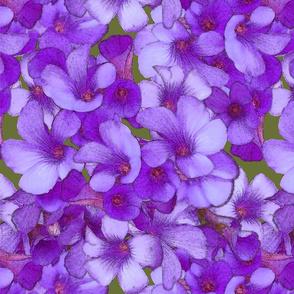 Wood Sorrel - Blueish Purple