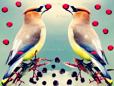 Cedar Waxwings with Toyon Berries
