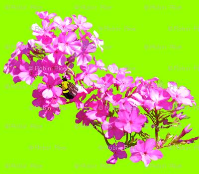 Phlox and Bumble Bee