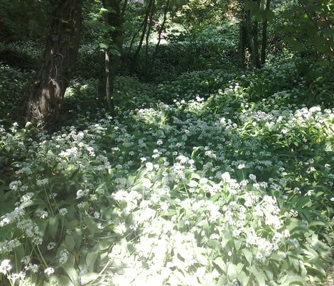 Rrrrwild_garlic_in_the_woods_quad_shop_preview