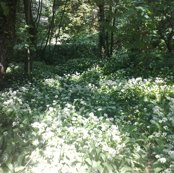 Rrrrwild_garlic_in_the_woods_quad_shop_thumb