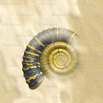 Ammonite, L