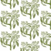 Botanical study-vintage olive