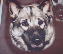 Norwegian Elkhound Portrait
