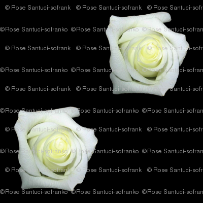 White Roses On Black