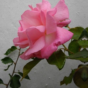 PINK_ROSE_SPOONFLOWER