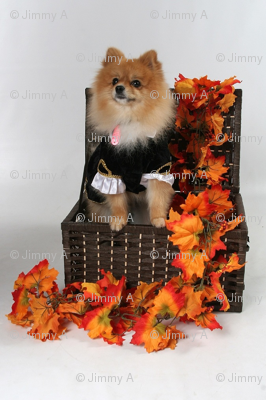 Pomeranian in Autumn