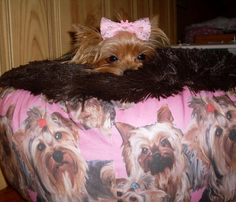 Rrrrrpink_yorkies_comment_235565_thumb