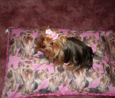 Rrrrrpink_yorkies_comment_235569_thumb