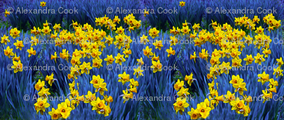 Daffodils on Blue by Alexandra Cook