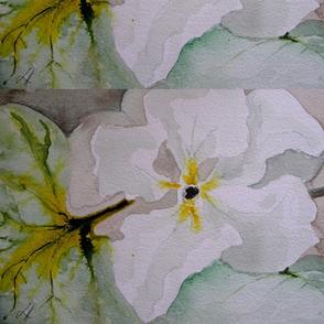 Cucurbit Series: Lagenaria Flower