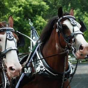 Draft_Horse___Mule_Show_8-7-11_786