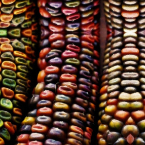 pretty  colorful corn