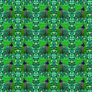 peacocks22