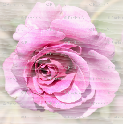 Pink Rose and Lines