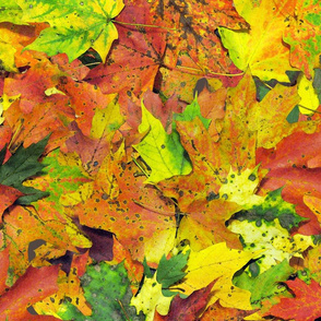 maple_leaves_fall