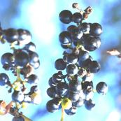 Wild_Grapes