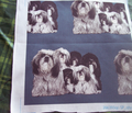 Rrrtibetan_terriers_comment_126317_thumb