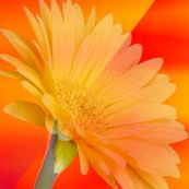 Rrryellow_gerbera_on_orange_shop_thumb
