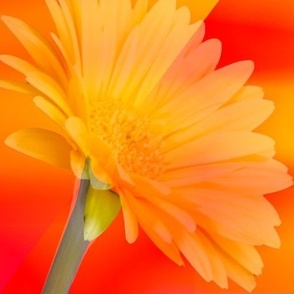 Yellow_daisy_on_orange