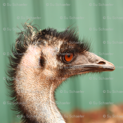 Emu, side view