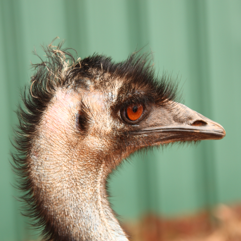 Emu, side view fabric by su_g on Spoonflower - custom fabric