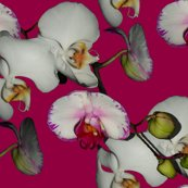 Rrrrrrorchid_fuschia_shop_thumb