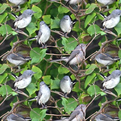 Rrbluegray_gnatcatcher_4528_shop_preview