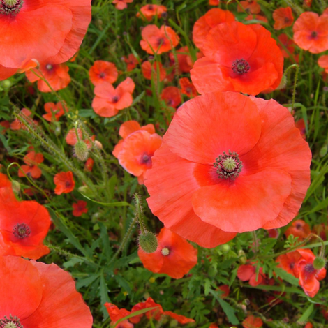 Poppies fabric by peacoquettedesigns on Spoonflower - custom fabric