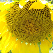sunflower small