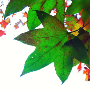 Green_autumn_leaf