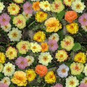 Rrrmoss_roses_3573_still_large_shop_thumb