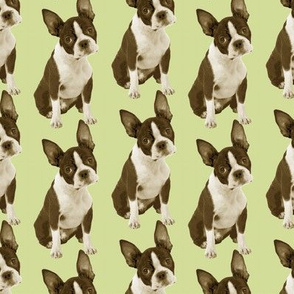 Boston Terrier Half Drop