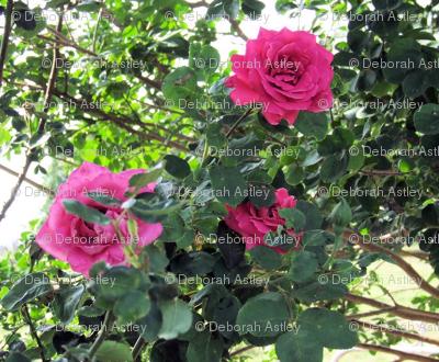Pink rose twirl