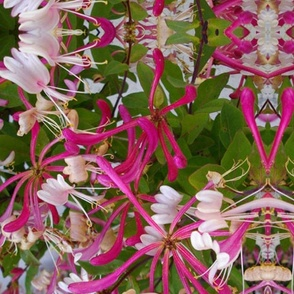 HONEYSUCKLE_SPOONFLOWER_I