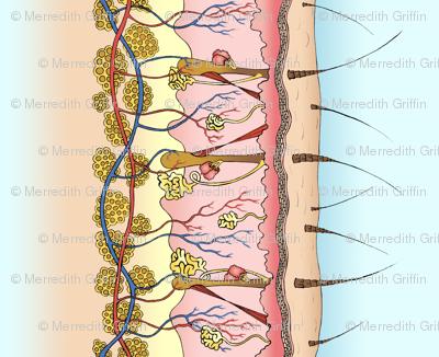 Skin Anatomy border