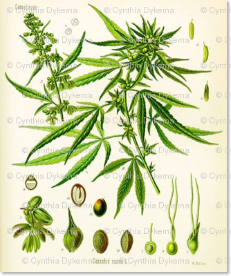 hemp-botanical-chart