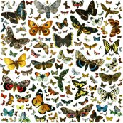Rrrrrrlarge_square_butterfly_poster_shop_thumb