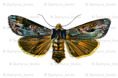 Moth Calocampa vetusta