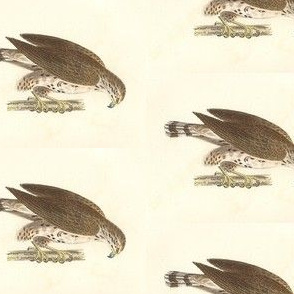 Broadwinged Hawk - Bird / Birds of Prey