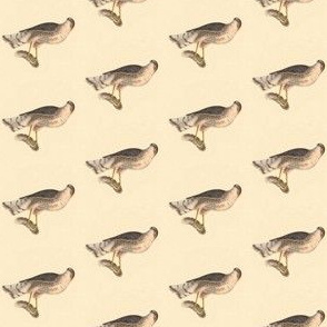Sharp Shinned hawk - Bird / Birds of Prey