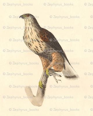 Rough Legged Hawk - Bird / Birds of Prey