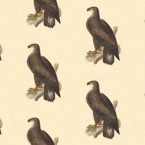 The Bald Eagle - Bird / Birds of Prey