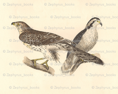 Northern Goshawk - (Hawk) Bird / Birds of Prey