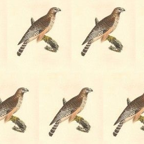 Red-shouldered Hawk - Bird / Birds of Prey