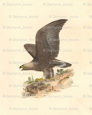 The Golden Eagle - Bird / Birds of Prey