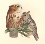 The Little Screech Owl - Vintage Bird / Birds of Prey Print