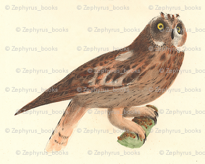 The Short-eared Owl - Vintage Bird / Birds of Prey Print