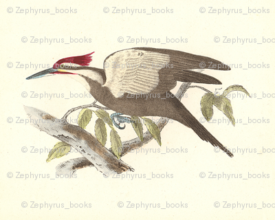 Pileated Woodpecker - Vintage Bird / Birds Print