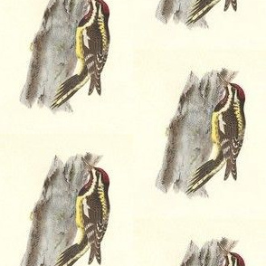 Yellow-bellied Sapsucker - Vintage Bird / Birds Print